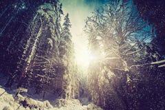 冬天用雪盖的高杉木森林风景在早晨阳光 免版税库存图片