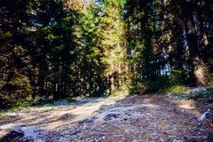 冬天用霜盖的杉木森林风景在晴朗的天气 在秋天季节的第一雪 免版税库存照片