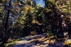 冬天用霜盖的杉木森林风景在晴朗的天气 在秋天季节的第一雪 免版税库存图片