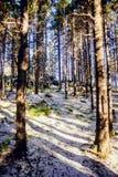 冬天用霜盖的杉木森林风景在晴朗的天气 在秋天季节的第一雪 免版税图库摄影