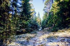 冬天用霜盖的杉木森林风景在晴朗的天气 在秋天季节的第一雪 库存图片