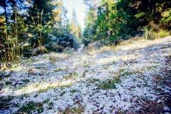 冬天用霜盖的杉木森林风景在晴朗的天气 在秋天季节的第一雪 图库摄影