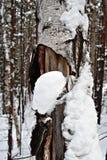 冬天白桦树皮 库存照片