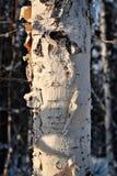 冬天白桦树皮 免版税库存图片