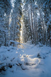 冬天积雪的树 爱沙尼亚 免版税库存图片