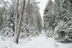 冬天积雪的树 库存图片