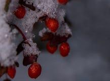 冬天积雪的红火灌木莓果仲冬 库存照片