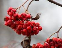 冬天红色莓果 免版税库存照片