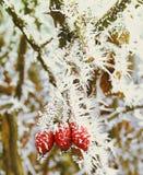 冬天结冰的小组用冰盖的野玫瑰果莓果 免版税库存图片