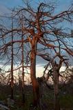 冬天结构树 图库摄影