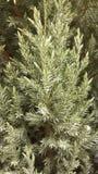 冬天绿色树 免版税库存图片