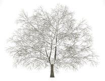 冬天美国在白色隔绝的山毛榉树 库存例证