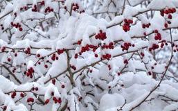 冬天背景用用雪盖的红色野玫瑰果 免版税图库摄影