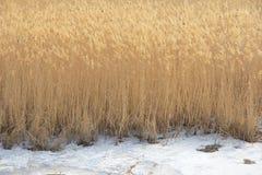 冬天芦苇 库存图片