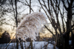冬天芦苇 免版税库存照片
