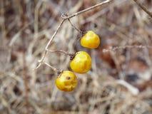 冬天莓果 免版税库存图片