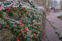 冬天莓果 库存照片