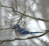 冬天蓝色尖嘴鸟 图库摄影