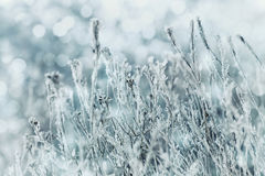 冬天蓝色花和霜风景或背景在雪的在一冷的天 宏观本质 美丽的被雪包围住的草甸 免版税库存图片