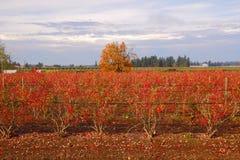 冬天蓝莓领域 免版税库存图片