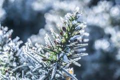 冬天被定调子的结霜的金雀花宏指令 图库摄影