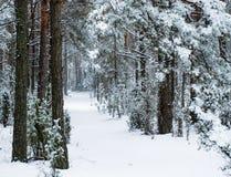 冬天路在杉木森林里 库存照片