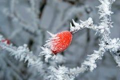 冬天野玫瑰果 免版税图库摄影
