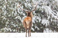 冬天野生生物风景 高尚的鹿鹿Elaphus 在冬天森林鹿的鹿与有雪的大垫铁 免版税库存照片