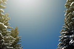 冬天阳光光束和杉树在自然森林里 免版税库存图片