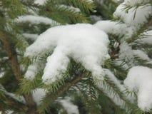 冬天雪季节云杉属受苦冷杉木木头 库存图片