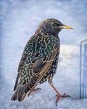 冬天雪的五颜六色的椋鸟科 库存图片