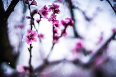 冬天雪的桃树农场 库存图片