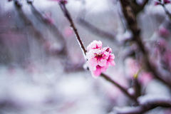 冬天雪的桃树农场 免版税库存图片