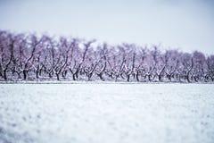 冬天雪的桃树农场 免版税库存照片