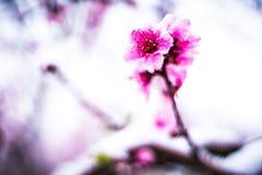 冬天雪的桃树农场 库存照片