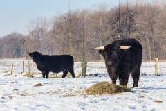 冬天雪的黑人苏格兰高地居民 免版税库存照片