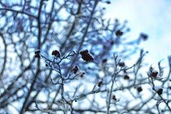 冬天雪被盖的分支树 免版税图库摄影