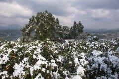 冬天雪风景在柑橘果树园 库存图片