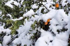 冬天雪风景在柑橘果树园 免版税图库摄影