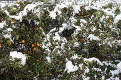 冬天雪风景在柑橘果树园 库存照片