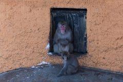冬天雪猴子 免版税库存照片