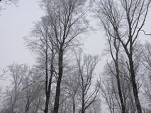冬天雾在有高大的树木的一个森林里在德国 库存图片