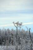 冬天领域和Sosnowsky hogweed词根 图库摄影