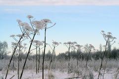 冬天领域和Sosnowsky hogweed词根 库存照片