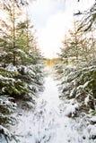 冬天风景在有用白色盖的树的森林里 免版税库存图片