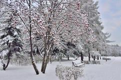 冬天风景在有长凳的城市公园在花楸浆果tr下 免版税库存图片