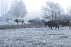 冬天风景在村庄 母牛在一条冷淡的早晨路去 库存照片