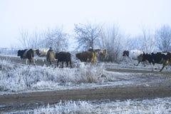 冬天风景在村庄 母牛在一条冷淡的早晨路去 免版税库存照片