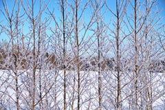 冬天风景在霜的白桦分支在蓝天背景  库存图片