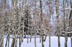 冬天风景桦树和云杉 免版税库存图片